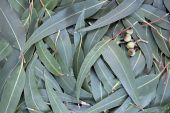 stock photo of eucalyptus leaves  - Eucalyptus leaves and gumnuts form a full - JPG