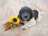 stock photo of newfoundland puppy  - Very cute Newfoundland puppy laying down with yellow sunflowers and fall decor - JPG