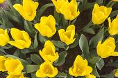 image of angiosperms  - Yellow Tulips flower shot from below close up with tulip background pattern - JPG