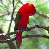 foto of lorikeets  - Lorikeet or Red Lory  - JPG