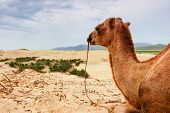 picture of mongol  - Camel resting on Mongol Sand Dune in central Mongolia - JPG