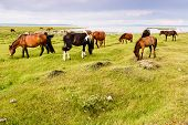 picture of mongolian  - Wild Mongolian horses grazing by Khovsgol Lake in northern Mongolia - JPG
