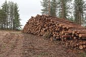 picture of deforestation  - Freshly cut tree logs piled up near a forest road - JPG