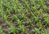 picture of bromeliad  - Row Of Bromeliad Plants In The Garden - JPG
