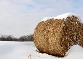picture of corn stalk  - Winter landscape - JPG
