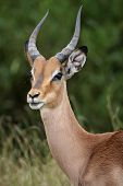 image of antelope  - Portrait of an alert young impala antelope in Africa - JPG