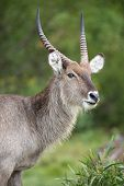 stock photo of antelope horn  - Waterbuck antelope male with shaggy coat and horns - JPG