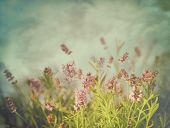 stock photo of lavender field  - Lavender flowers with vintage color filters - JPG