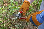 foto of prunes  - Close up of gloved hands using small pruning shears to prune branches - JPG