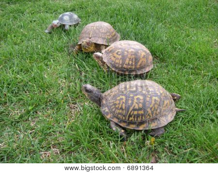 Four turtles on green grass going slowly