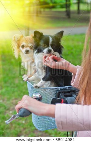 bicycle walking with dogs chihuahua puppy