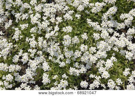 White Myosotis Spring Background