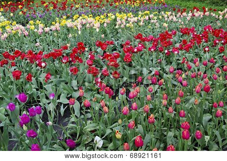 Tulips Grow On A Fields Beds