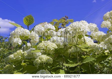 Clusters Of White Flowers
