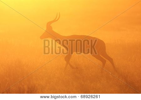 Impala - African Wildlife Background - Golden Dust and Sunset Run