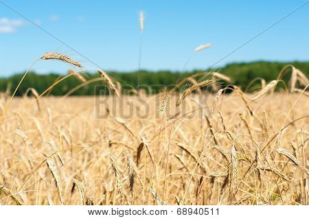 sunny field with wheat