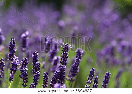 Lavender Bushes In The Lavender Flower.