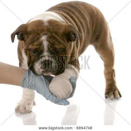 Bulldog Pup With Wounded Paw