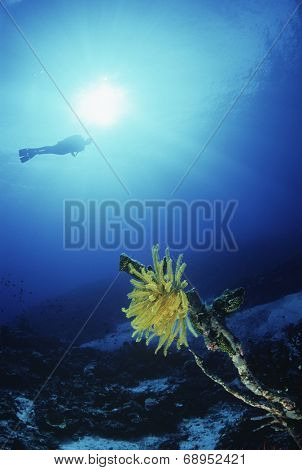 Underwater shoot of coral reef and feather star with scuba diver in background