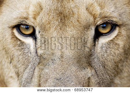Male Lion Eyes