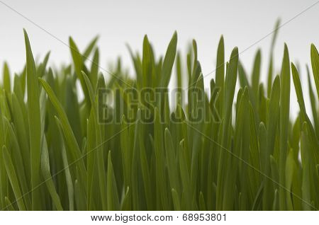 Wheatgrass, close-up