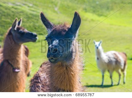 Close up of a llama