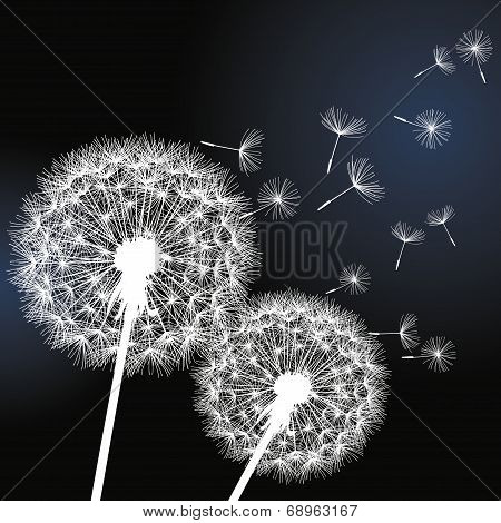 Two Flowers Dandelions On Black Background