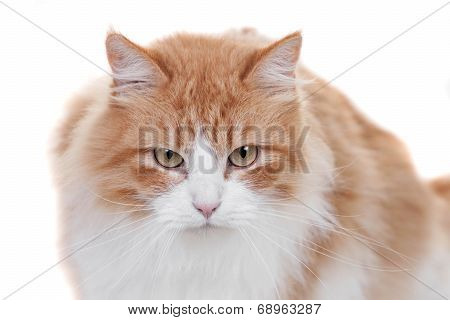 Ginger mixed breed cat on white