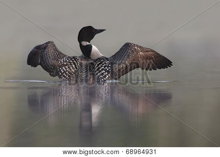 Common Loon Rising Out Of Water