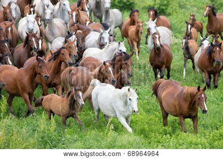 Herd of horses and foals running in summer