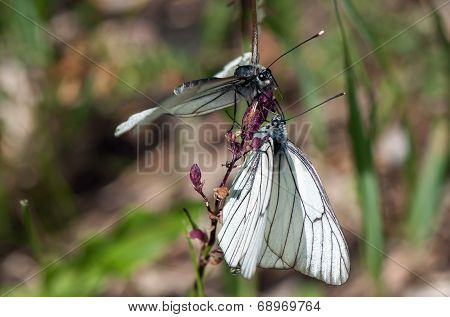 Two White Butterflies On One Flower