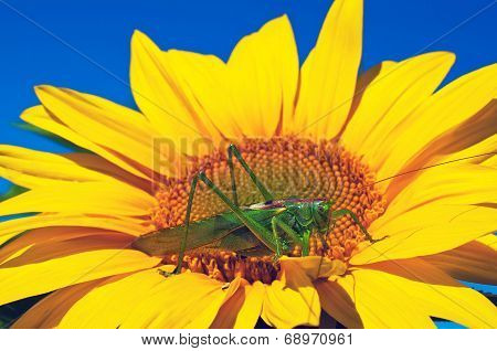 Locust On Sunflower