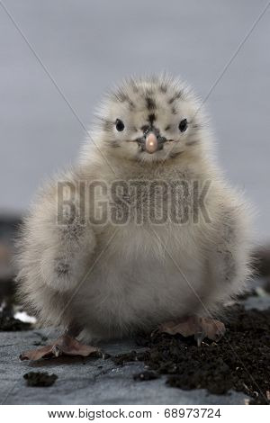 Recently Hatchling Dominican Gulls On The Antarctic Island