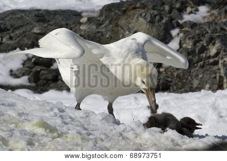 White Morph Of The Southern Giant Petrel Who Eats Adelie Penguin Chick