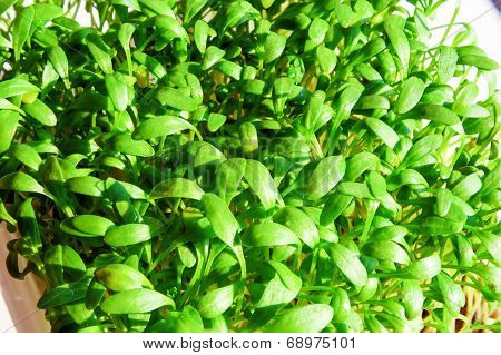 Fresh Green Cress Vegetable Healthy Cooking