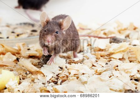 Brown mouse sawdust