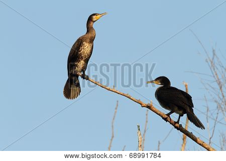 Two Great Cormorants On Branch