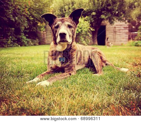 a senior dog laying in the grass toned with a retro vintage instagram filter