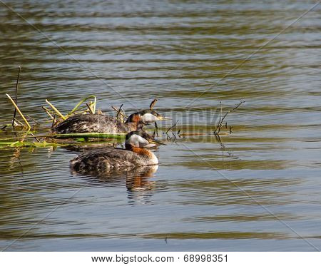 Mated Grebes