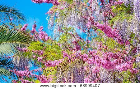 Wisteria Flowers And Palms