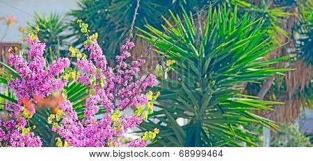 judas tree Flowers On Green