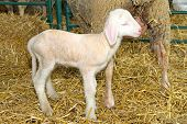 stock photo of baby sheep  - Sheep and small baby lamb in pen - JPG