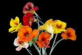 stock photo of nasturtium  - Red and yellow nasturtium for Halloween collages isolated on black - JPG