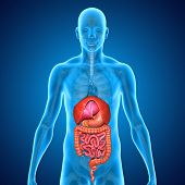 stock photo of internal organs  - There are several organs and other components involved in the digestion of food and the largest structure of the digestive system is the gastrointestinal tract - JPG