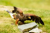 stock photo of hawk  - Harris hawk Parabuteo unicinctus on the ground - JPG