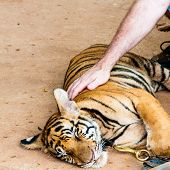 stock photo of tiger cub  - Young tiger cub in famous Tiger Temple in Kanchanaburi Thailand - JPG