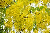 stock photo of cassia  - Beautiful yellow flowers on tree of Purging Cassia or Ratchaphruek  - JPG