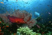 stock photo of school fish  - Scuba diver watching grouper and school of fish on coral reef - JPG