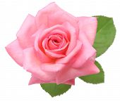 foto of single white rose  - pink rose with leaves isolated on white background - JPG