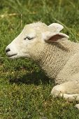 picture of heatwave  - A lamb in the sunshine during a British heatwave - JPG